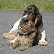 funny picture with Basset puppy and cat
