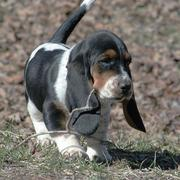 Basset puppy holding branches