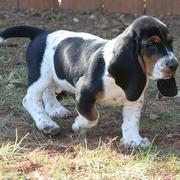 walking Basset puppy