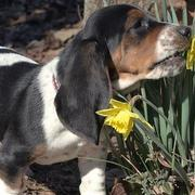 Basset puppy eating spring flowers