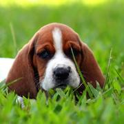 Basset puppy face picture