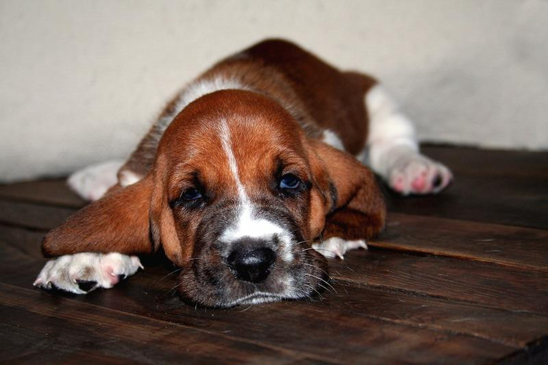 Basset puppy picture