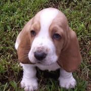 small Basset puppy