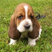 sad but cute looking Basset puppy