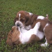 two Basset puppies playing