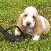 Basset puppy play with slipper_sorry but I don't think you can use this slipper anymore