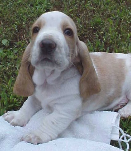 playful Basset puppy in light tan and white