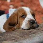 so cute looking Basset puppy photo