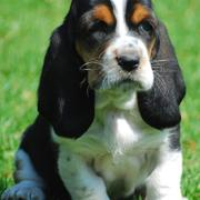 photo of Basset puppy
