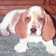 picture of Basset puppy with huge ears