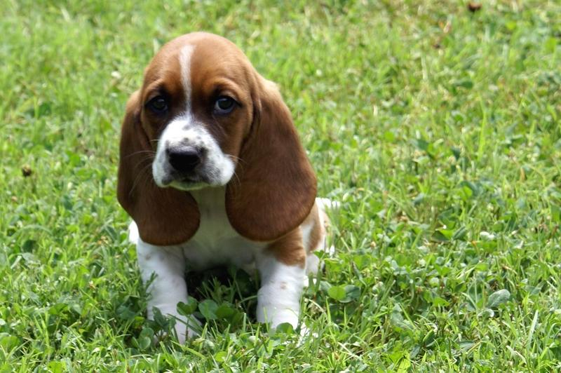 Basset puppy photo on the grass looking cute and sad