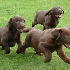 lab puppies running_chocolate.jpg