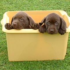lab puppies_chocolate.jpg