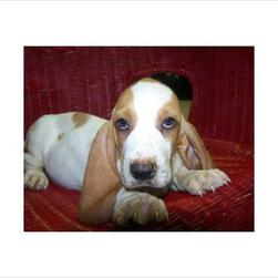 basset puppy-long eyes.jpg