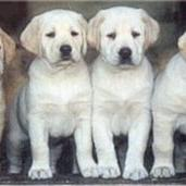 lab puppies_golden.jpg