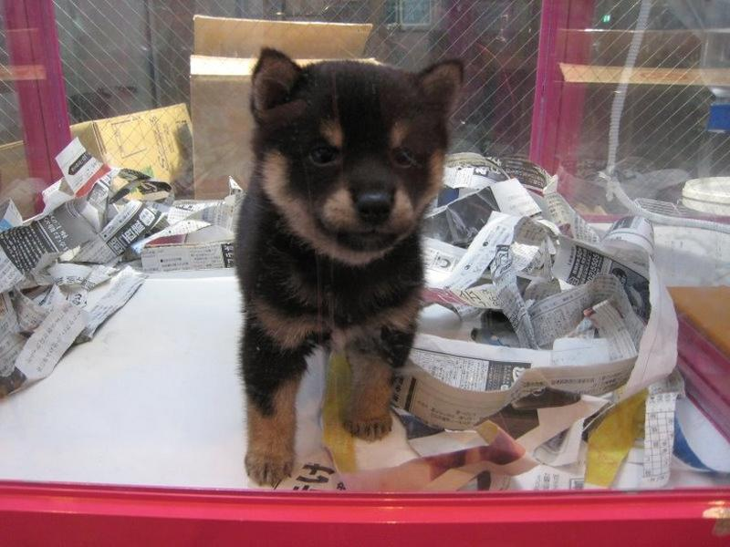 black and tan Shiba Inu in box.jpg