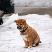 only Shiba Inu puppy in snow.jpg