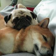 Shiba Inu dog with its friend relaxing in bed.jpg