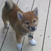 Shiba Inu puppy images.jpg