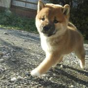 Shiba Inu puppy walking motion.jpg