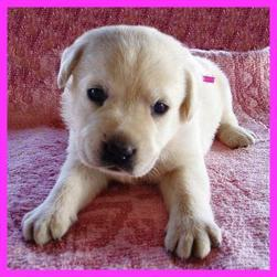 lab young pup_yellow.jpg