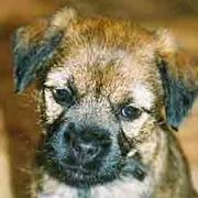 border terrier puppy.jpg