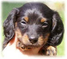 puppy in black and tan with big ears.jpg
