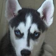 husky cross-breed puppy.jpg