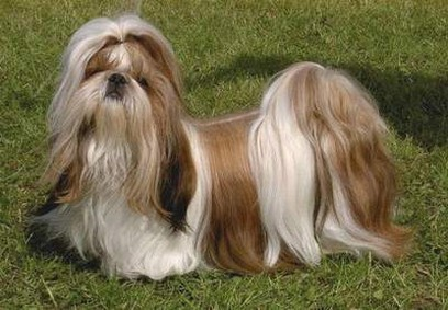 Shih Tzu dog picture.jpg