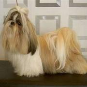 Shih Tzu in three colors.jpg
