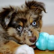 Australian Shepherd puppy playing with it toy'.jpg