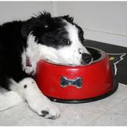 a Australian Shepherd pup still waiting for its food.jpg