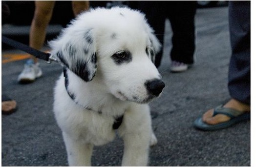Australian Shepherd and labrador mix puppy in white and black.jpg ...