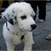 Australian Shepherd and labrador mix puppy in white and black.jpg