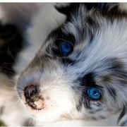 Australian Shepherd pup with the bluest eyes.jpg