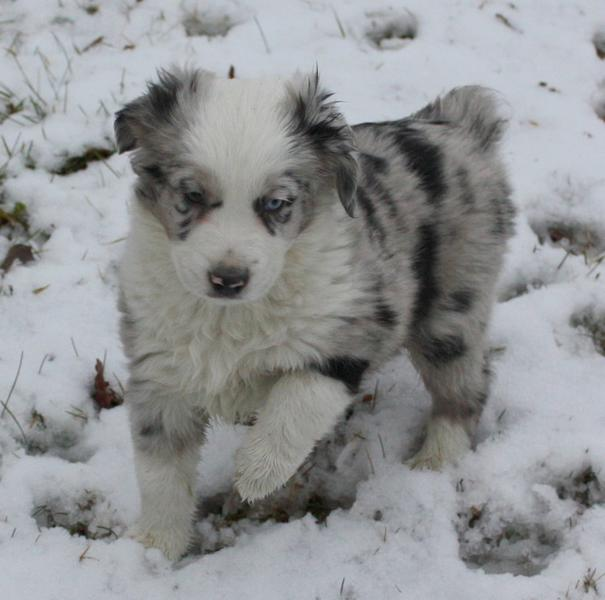 Australian Shepherd Puppy Image In White Gray And Black