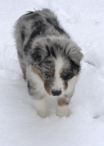 Australian Shepherd puppy in cold snow.jpg