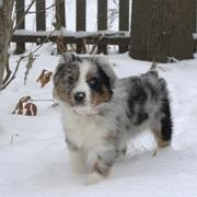 Australian Shepherd puppy in the cold nature with thick snow on the ground.jpg