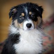 Australian Shepherd puppy in three colors.jpg