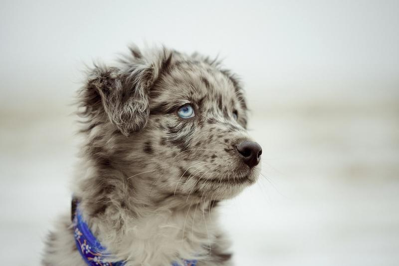 australian shepherd puppy in white and black with beautiful blue eyes.jpg