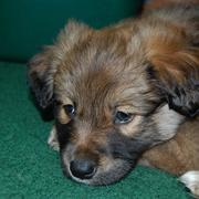 Australian Shepherd puppy mix.jpg