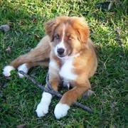 australian shepherd puppy picture on grass.jpg