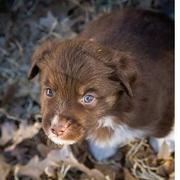 Australian Shepherd puppy playing in the nature.jpg