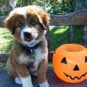 australian shepherd puppy prices.jpg
