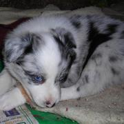 Australian Shepherd puppy with the most crystal blue eyes ever.jpg