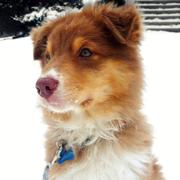 beautiful Australian Shepherd pup.jpg