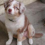 beautiful dog_Australian Shepherd puppy.jpg