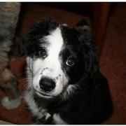 black and white Australian Shepherd pup looking up to the camera.jpg