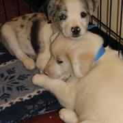 buddy Australian Shepherd puppies.jpg