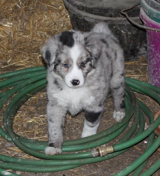cool looking Australian Shepherd puppy in white, black and gray.jpg